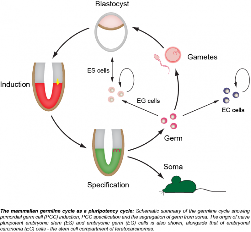 Germline and Pluripotency