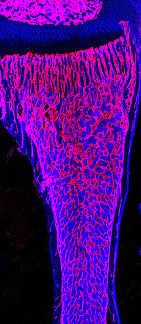 Blood vessel organization in young mouse tibia. Endomucin (red, blood vessels); DAPI (blue, nucleus).